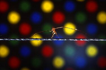 Flea named Tiny walking the high wire with balancing poles around its neck, Cardoso Flea Circus, San Francisco, California  -  Heidi & Hans-Juergen Koch