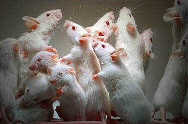 Lab mice (Mus musculus), tribe Balbc, family showing different generations, standing on hind feet, excited and sniffing  -  Heidi & Hans-Juergen Koch