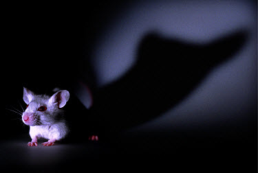 Lab mouse (Mus musculus), tribe Balbc, at night with long shadow in background  -  Heidi & Hans-Juergen Koch