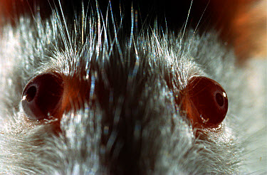 Lab mouse (Mus musculus), tribe Balbc, close up of mouse with normal eyes  -  Heidi & Hans-Juergen Koch