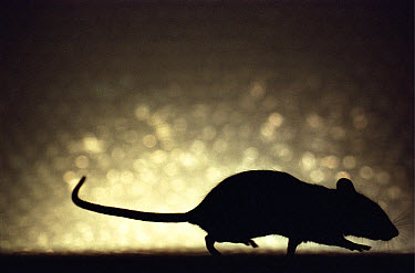 Lab mouse (Mus musculus), tribe C57bi, silhouette of mouse walking with tail in the air  -  Heidi & Hans-Juergen Koch