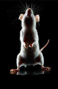 Lab mouse (Mus musculus), tribe Balbc, standing up on its hind feet, curious and sniffing the air  -  Heidi & Hans-Juergen Koch