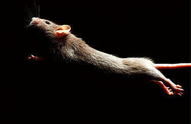 Lab mouse (Mus musculus), tribe Dba, leaping  -  Heidi & Hans-Juergen Koch
