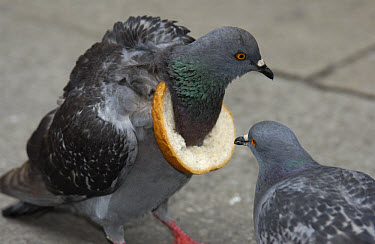 Rock Dove (Columba livia) two, one with a ring of bread around its neck  -  Heidi & Hans-Juergen Koch