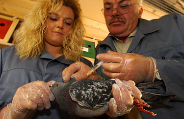 Rock Dove (Columba livia) getting an injection from pigeon expert Ferry Wittke on right, assisted by Elisabeth Reichel, President of the Pigeon Genetic Club at the Taubenhof where pigeons are bred and...  -  Heidi & Hans-Juergen Koch