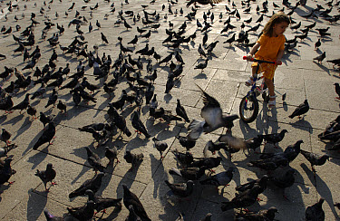 Rock Dove (Columba livia) flocks cover the ground around a child riding bike at St Marcus Place, Venice, Italy  -  Heidi & Hans-Juergen Koch
