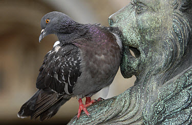 Rock Dove (Columba livia) sitting on a lion sculpture at the St Marcus Place, Venice, Italy  -  Heidi & Hans-Juergen Koch