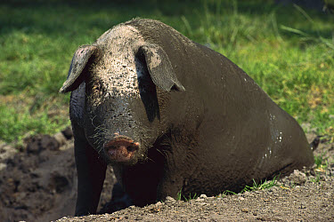 Domestic Pig (Sus scrofa domesticus) wallowing in mud to keep cool and control parasites, Germany  -  Heidi & Hans-Juergen Koch