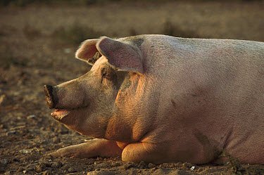Domestic Pig (Sus scrofa domesticus) sow resting on ground, northern Germany  -  Heidi & Hans-Juergen Koch
