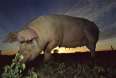Domestic Pig (Sus scrofa domesticus) sow grazing on meadow at sunset, northern Germany  -  Heidi & Hans-Juergen Koch