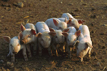 Domestic Pig (Sus scrofa domesticus) eight piglets standing close together to stay warm and for protection, northern Germany  -  Heidi & Hans-Juergen Koch