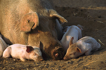 Domestic Pig (Sus scrofa domesticus) mother and piglets sleeping, northern Germany  -  Heidi & Hans-Juergen Koch