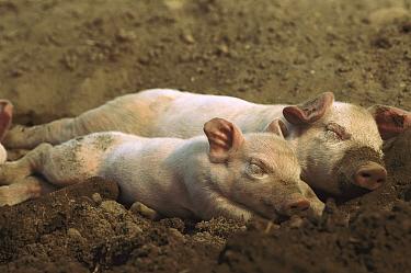 Domestic Pig (Sus scrofa domesticus) piglets sleeping, northern Germany  -  Heidi & Hans-Juergen Koch
