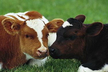 Domestic Cattle (Bos taurus) calves nuzzling, northern Germany  -  Heidi & Hans-Juergen Koch