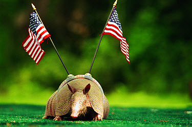 Nine-banded Armadillo (Dasypus novemcinctus) with American flags on its back at armadillo race in New Braunfels, Texas  -  Heidi & Hans-Juergen Koch