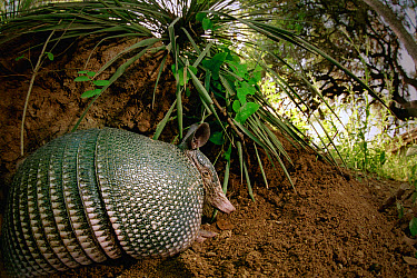 Nine-banded Armadillo (Dasypus novemcinctus) sitting at the entrance of its burrow on the bank of a small creek, Hill Country, Texas  -  Heidi & Hans-Juergen Koch