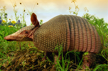 Nine-banded Armadillo (Dasypus novemcinctus) sniffing in flower-filled meadow, Hill Country, Texas  -  Heidi & Hans-Juergen Koch