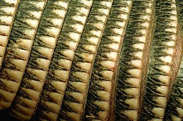 Nine-banded Armadillo (Dasypus novemcinctus) detail of carapace, Texas  -  Heidi & Hans-Juergen Koch