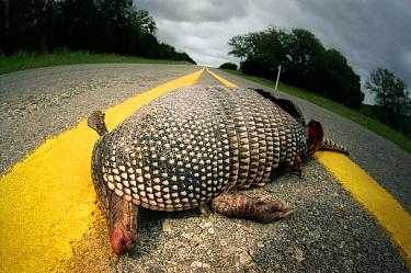 Nine-banded Armadillo (Dasypus novemcinctus) road kill, Hill Country, Texas  -  Heidi & Hans-Juergen Koch