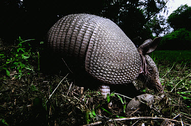 Nine-banded Armadillo (Dasypus novemcinctus) nocturnal, foraging for food at night, Hill Country, Texas  -  Heidi & Hans-Juergen Koch