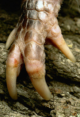 Nine-banded Armadillo (Dasypus novemcinctus) detail of front foot with claws that help it dig burrows and search for food, Texas  -  Heidi & Hans-Juergen Koch