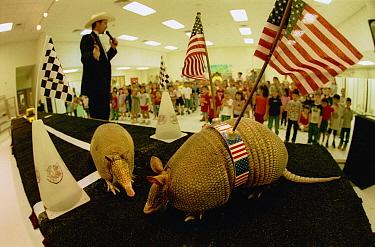 Nine-banded Armadillo (Dasypus novemcinctus) pair in front of school children in a classroom as part of a presentation by preacher/entertainer Armadillo Jim, New Braunfels, Texas  -  Heidi & Hans-Juergen Koch