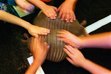Nine-banded Armadillo (Dasypus novemcinctus) pet by school children in a classroom during a presentation by preacher/entertainer Armadillo Jim New Braunfels, Texas  -  Heidi & Hans-Juergen Koch
