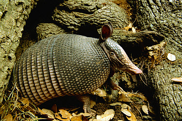 Nine-banded Armadillo (Dasypus novemcinctus) sitting at the entrance to its burrow between the roots of a tree, Hill Country, Texas  -  Heidi & Hans-Juergen Koch