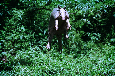 Nine-banded Armadillo (Dasypus novemcinctus) leaps vertically into the air when frightened, Hill Country, Texas  -  Heidi & Hans-Juergen Koch