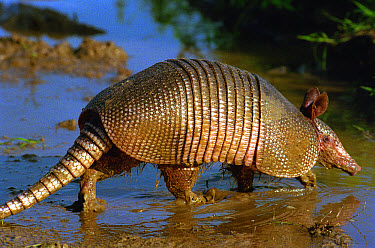 Nine-banded Armadillo (Dasypus novemcinctus) walking through shallow water, Hill Country, Texas  -  Heidi & Hans-Juergen Koch