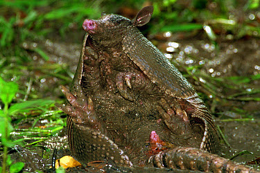 Nine-banded Armadillo (Dasypus novemcinctus) taking a mud bath, Hill Country, Texas  -  Heidi & Hans-Juergen Koch