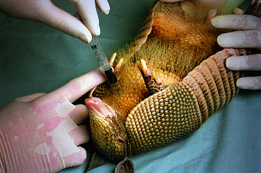 Nine-banded Armadillo (Dasypus novemcinctus) having blood drawn in laboratory for leprosy research, Louisiana State University, Baton Rouge, Louisiana  -  Heidi & Hans-Juergen Koch