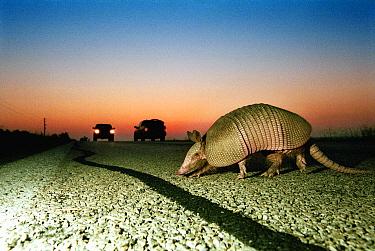 Nine-banded Armadillo (Dasypus novemcinctus) crossing a country road at dusk, Hill Country, Texas  -  Heidi & Hans-Juergen Koch