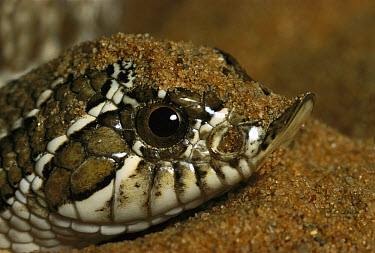 Hog-nosed Snake (Heterodon sp) close-up portrait, digs in the ground to hide as a defensive behavior when threatened, native to North America  -  Heidi & Hans-Juergen Koch