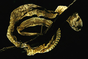 Gaboon Viper (Bitis gabonica) shed skin hanging on a branch, native to Africa  -  Heidi & Hans-Juergen Koch