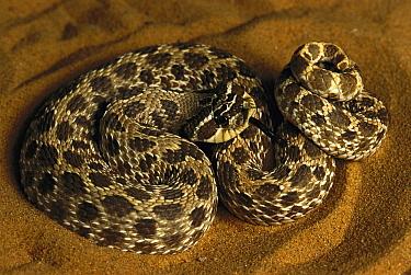 Hog-nosed Snake (Heterodon sp) portrait, coiled in sand, native to North America  -  Heidi & Hans-Juergen Koch