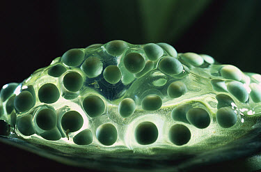 Red-eyed Tree Frog (Agalychnis callidryas) eggs, native to the tropical rainforests of Central America  -  Heidi & Hans-Juergen Koch