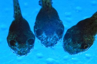 Cayenne Slender-legged Tree Frog (Osteocephalus leprieurii) close-up of three tadpoles, native to South America  -  Heidi & Hans-Juergen Koch