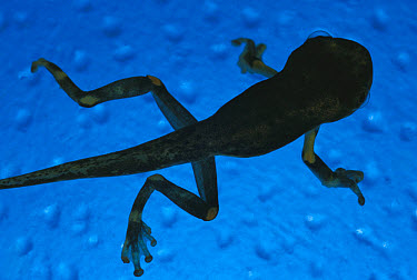 Cayenne Slender-legged Tree Frog (Osteocephalus leprieurii) silhouette of tadpole with developed tail and legs, native to South America  -  Heidi & Hans-Juergen Koch