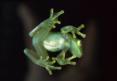 Glass Frog (Cochranella antisthenesi) transparent skin shows body filled with eggs, very rare and fragile frog, native to Central and South America  -  Heidi & Hans-Juergen Koch
