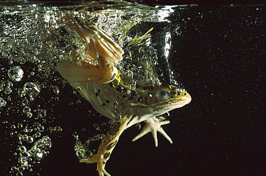 Northern Leopard Frog (Rana pipiens) jumping into water, native to North America  -  Heidi & Hans-Juergen Koch
