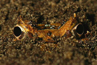 Cranwell's Horned Frog (Ceratophrys cranwelli) buried in soil, native to South America  -  Heidi & Hans-Juergen Koch