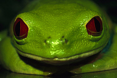 Red-eyed Tree Frog (Agalychnis callidryas) close-up portrait with eyes wide open, native to tropical rainforests of Central America  -  Heidi & Hans-Juergen Koch