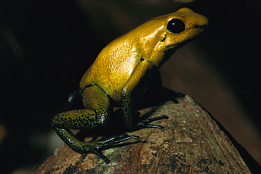 Golden Poison Dart Frog (Phyllobates terribilis) the most venomous frog, can be deadly to humans, discovered 1978 in Colombia  -  Heidi & Hans-Juergen Koch