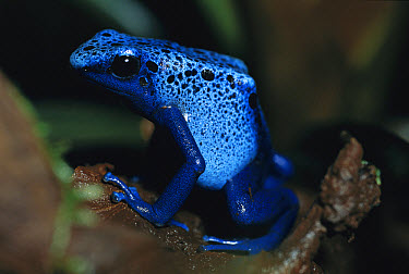 Blue Poison Dart Frog (Dendrobates azureus) very tiny venomous frog, Indian tribes use poison for arrows, native to South America  -  Heidi & Hans-Juergen Koch