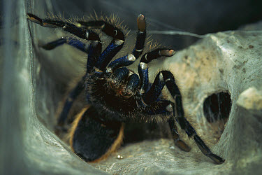 Greenbottle Blue Tarantula (Chromatopelma cyaneopubescens) in defensive posture at entrance to nest, native to Venezuela  -  Heidi & Hans-Juergen Koch