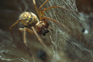 House Spider (Tegenaria atrica) in its web, native to Europe  -  Heidi & Hans-Juergen Koch