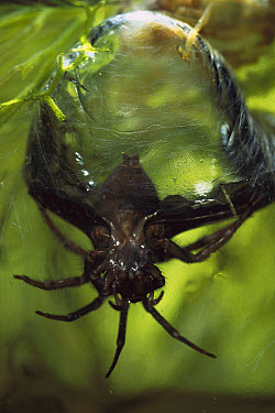 Water Spider (Argyroneta aquatica) emerging from its underwater air bell which is fastened to aquatic plants, native to Europe  -  Heidi & Hans-Juergen Koch