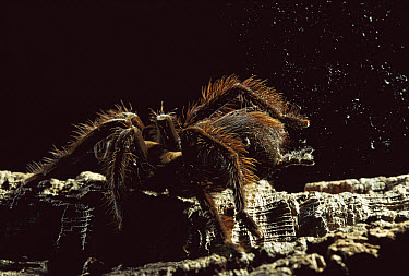 Tarantula (Pamphobeteus sp) flicks tiny barbed hairs from its abdomen in defense, native to South America  -  Heidi & Hans-Juergen Koch
