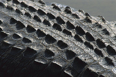 American Alligator (Alligator mississippiensis) detail of skin on back which provides protection and aids in thermoregulation, dark skin absorbs heat and the bony plates called scutes work like sun co...  -  Heidi & Hans-Juergen Koch